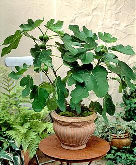 Fig Trees In A Pot Figs Grow Hily And Easily The Plants Do Not Have High Nutritional Requirements Are Therefore Satisfied With Limited